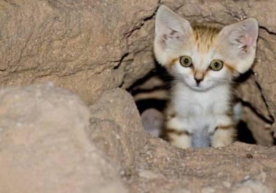 Чем лечить отит у кошек
