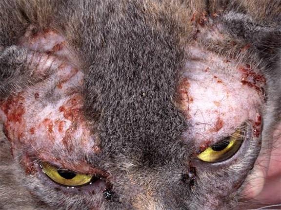 Кот чего шелушится кожа