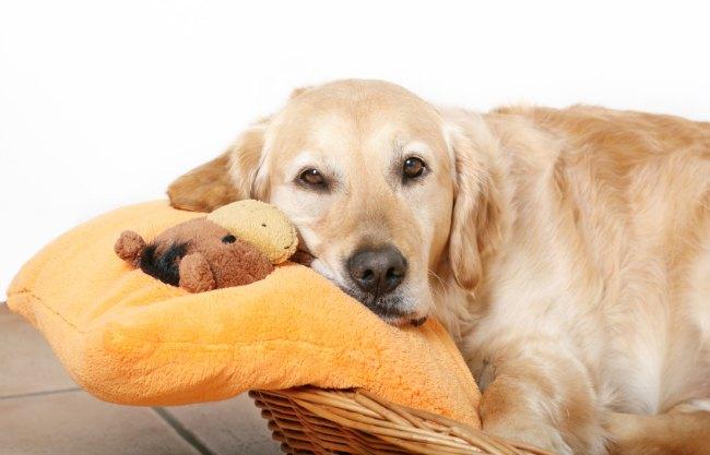 Как предотвратить у собаки ложную беременность