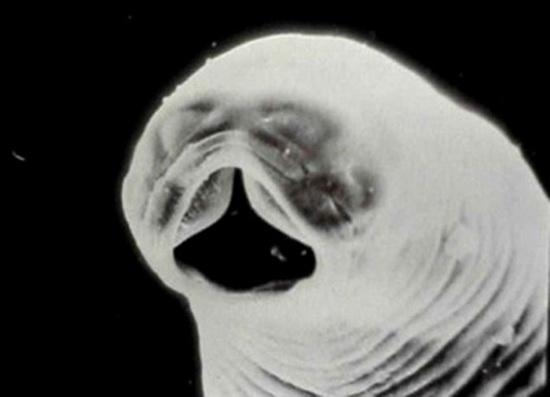 гвоздика от паразитов противопоказания