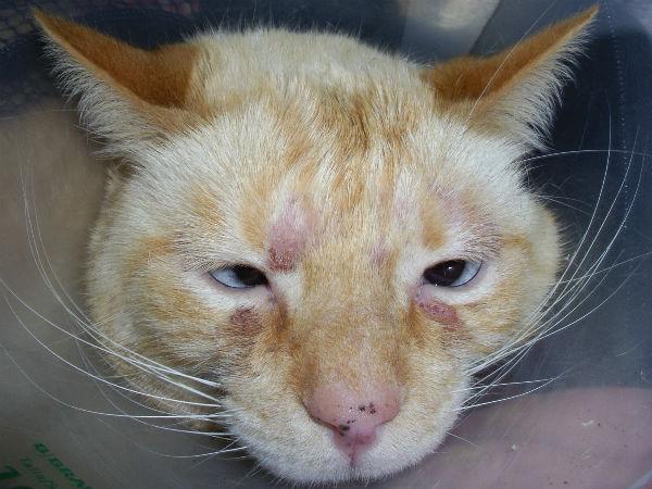 Атопический дерматит у кота
