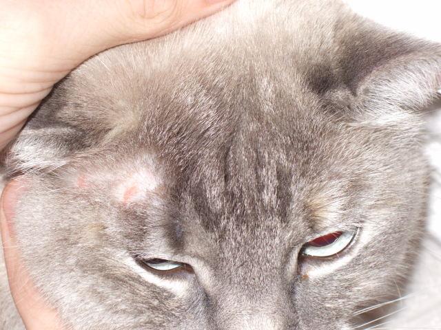 У кота на ухе плешь