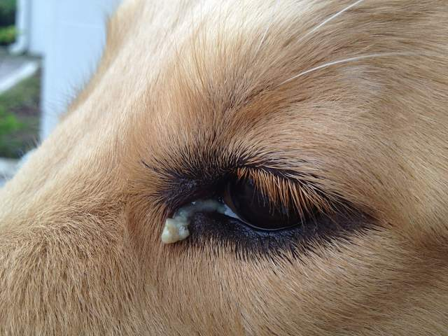 Causes Of Gunky Eyes In Dogs