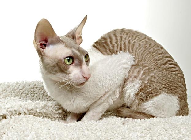 Гипоаллергенные кошки миф или реальность