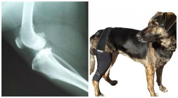 вывих сустава у собак операция