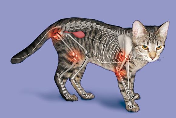 Артрит у кошек: причины развития и методы лечения