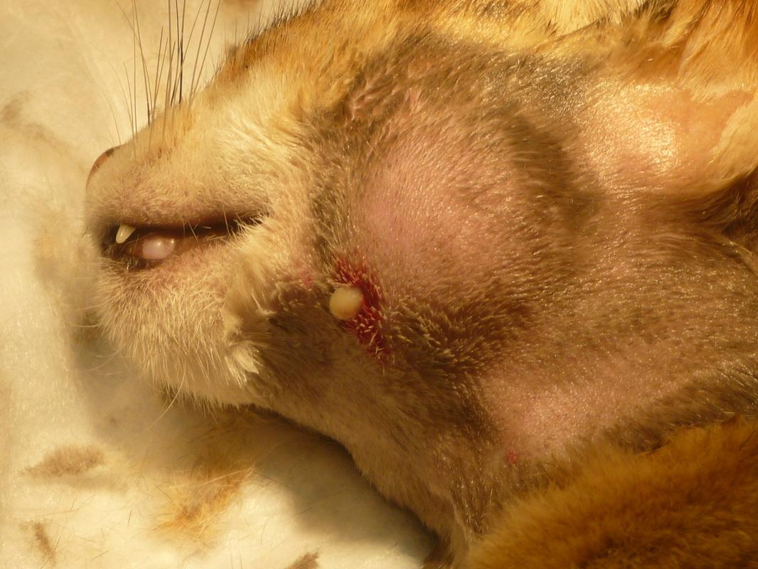 Что за опухоль на шее у кота
