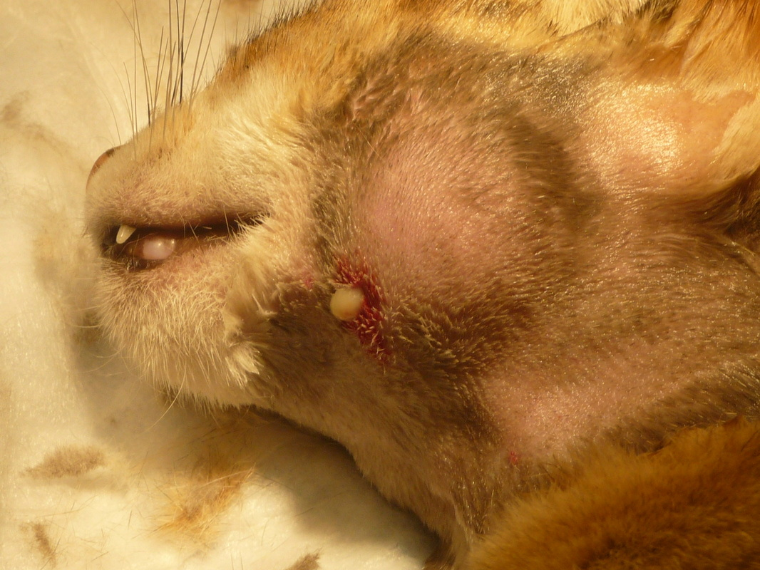 Воспаление на лапе кота