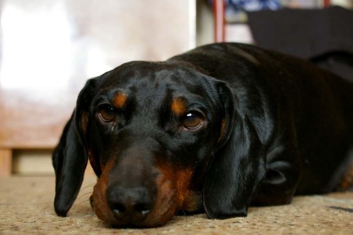 Гнойники у собаки: симптомы, фото и видео лечения