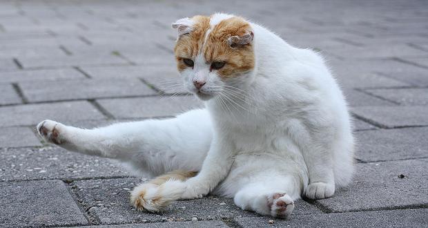 Лечение блох у кошек народными