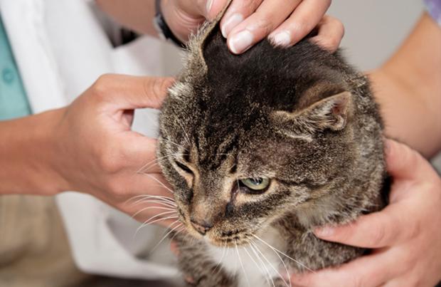 Как лечить уши коту от клеща