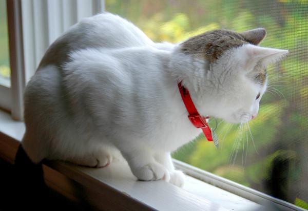 запах изо рта у кошки британки