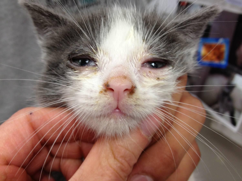 Симптомы герпеса у кота