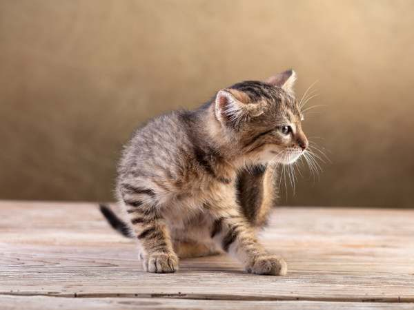 Дозировка гентамицина для котов