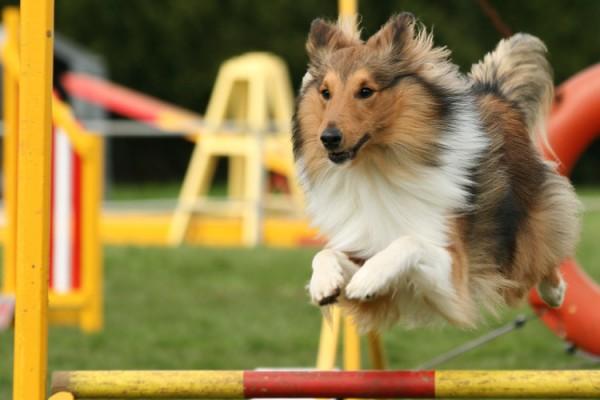 Что такое аджилити у собак