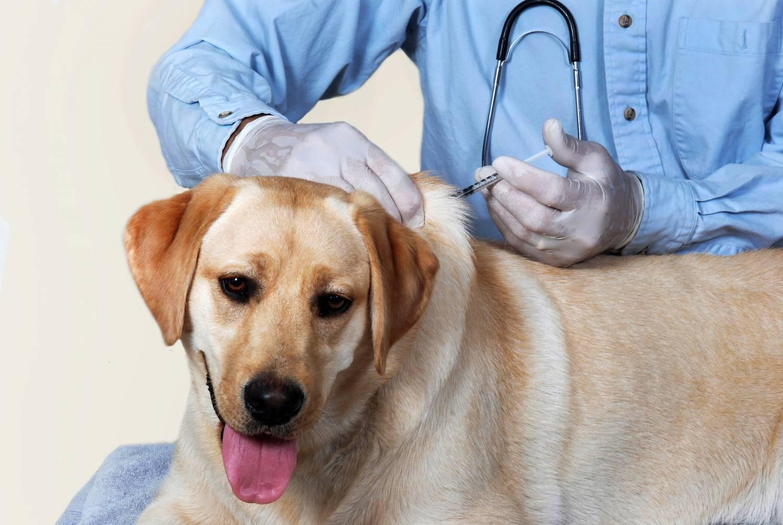 Прививка для собаки от чумки - 7