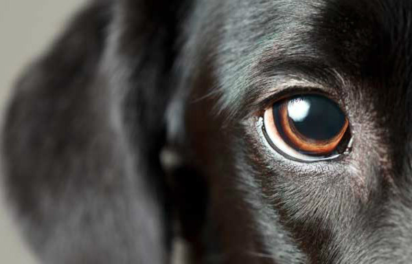 Слепота у собак - причины и проявления