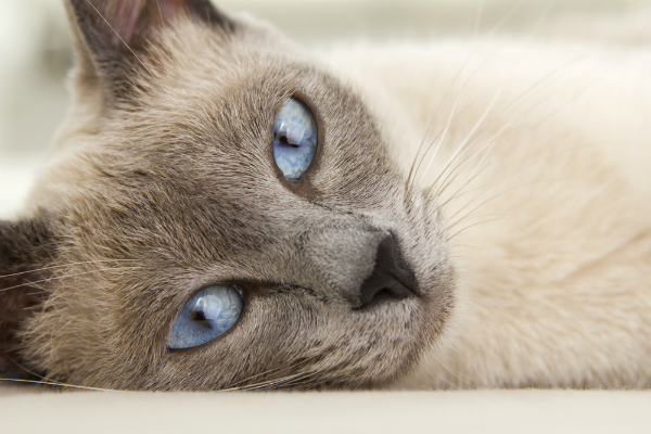 Воспаленный лимфоузел у кота