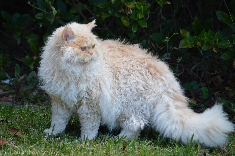 как взрослую кошку познакомить с котенком