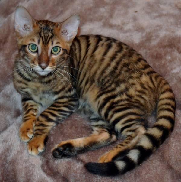 Bengal tiger kitten
