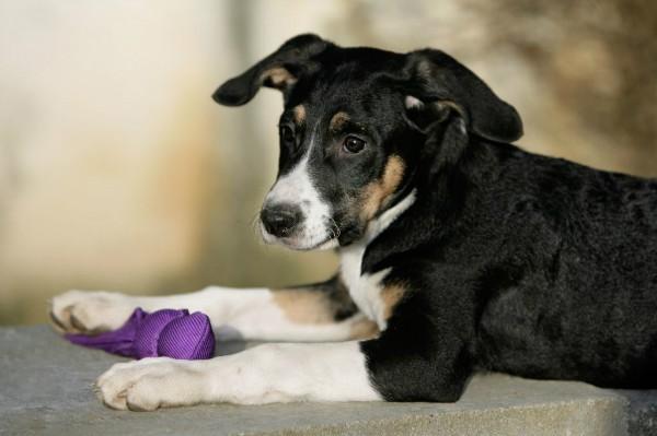 У собаки вылетает сустав преператы коралл клуба для лечения суставов