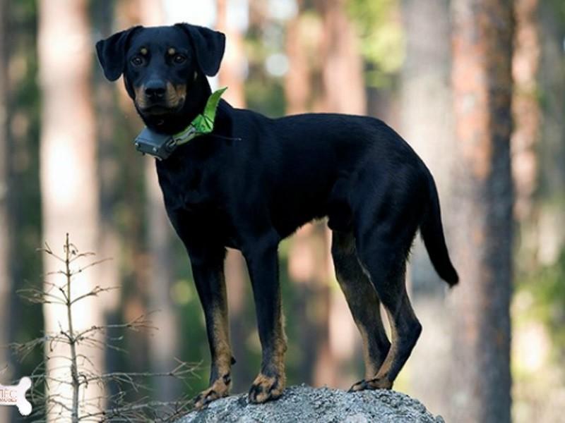 Гончие породы: описание и характеристики известных и признанных собак ( фото), Ваши Питомцы