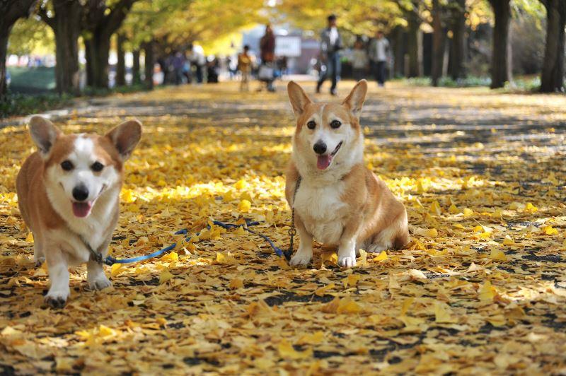 Собаки-компаньоны: обзор лучших пород (+ фото)
