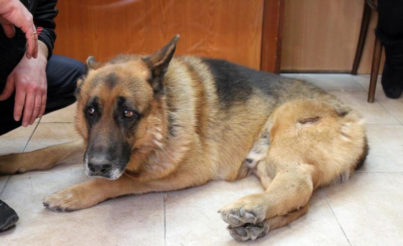Повреждение тазобедренного сустава у щенка отчего хрустят суставы без боли