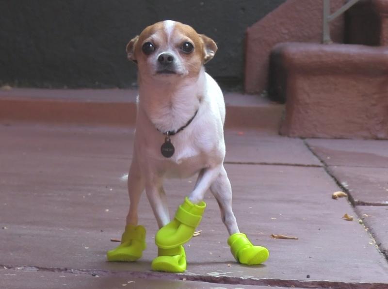 4b5d78a78d8c Например, сесть на пол с обутой собакой на руках и кинуть мячик. Питомец  сорвался и побежал за игрушкой, лишь искоса поглядывая на ботиночки
