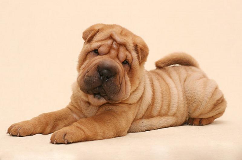 взрослых собак фото шарпей