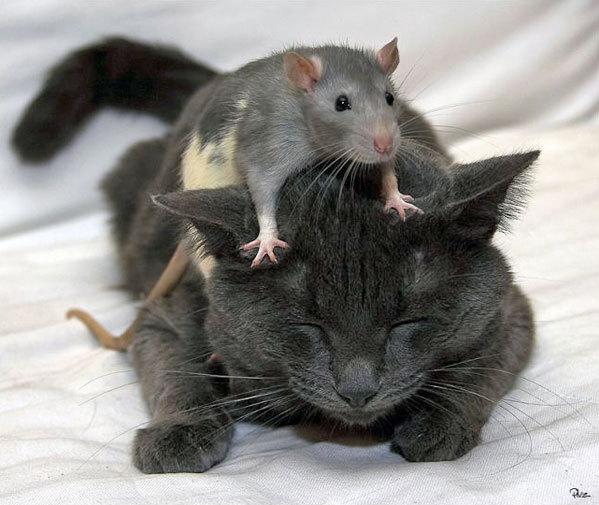 Приснилось кошка поймала крысу