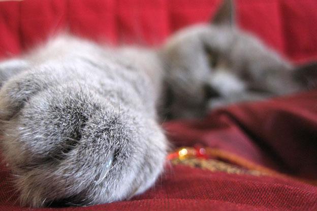 Вывих сустава у британских кошек болят суставы на кистях рук