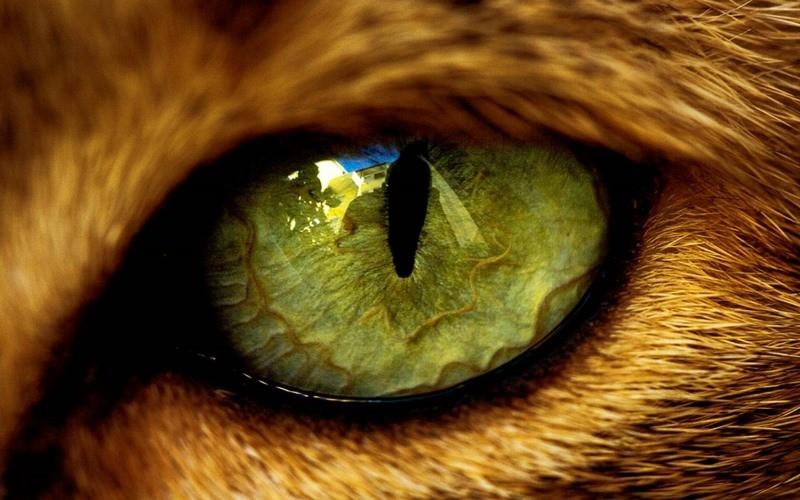 Чем чистить глаза котенку: советы ветеринаров 66