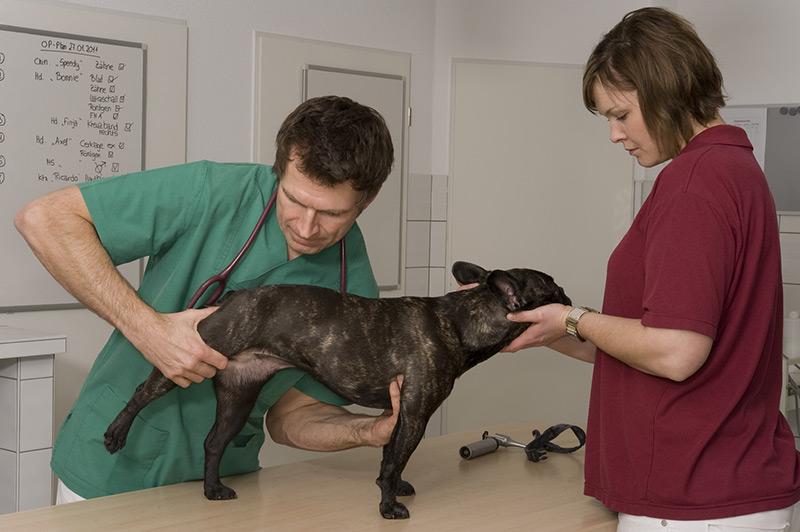 У собаки опух сустав горячий напряжение связок коленного сустава