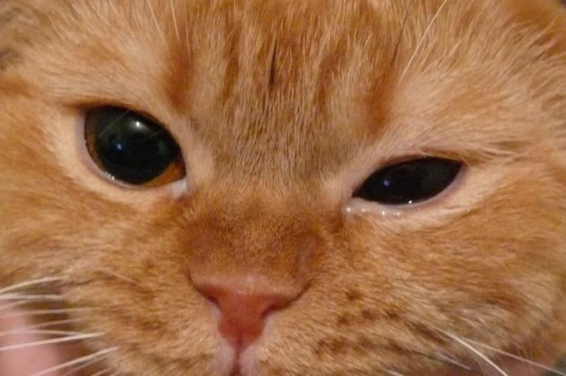 Конъюнктивит у кошки лечение в домашних условиях 726