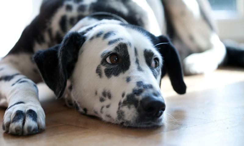 Кортикостероиды собакам болденон форум