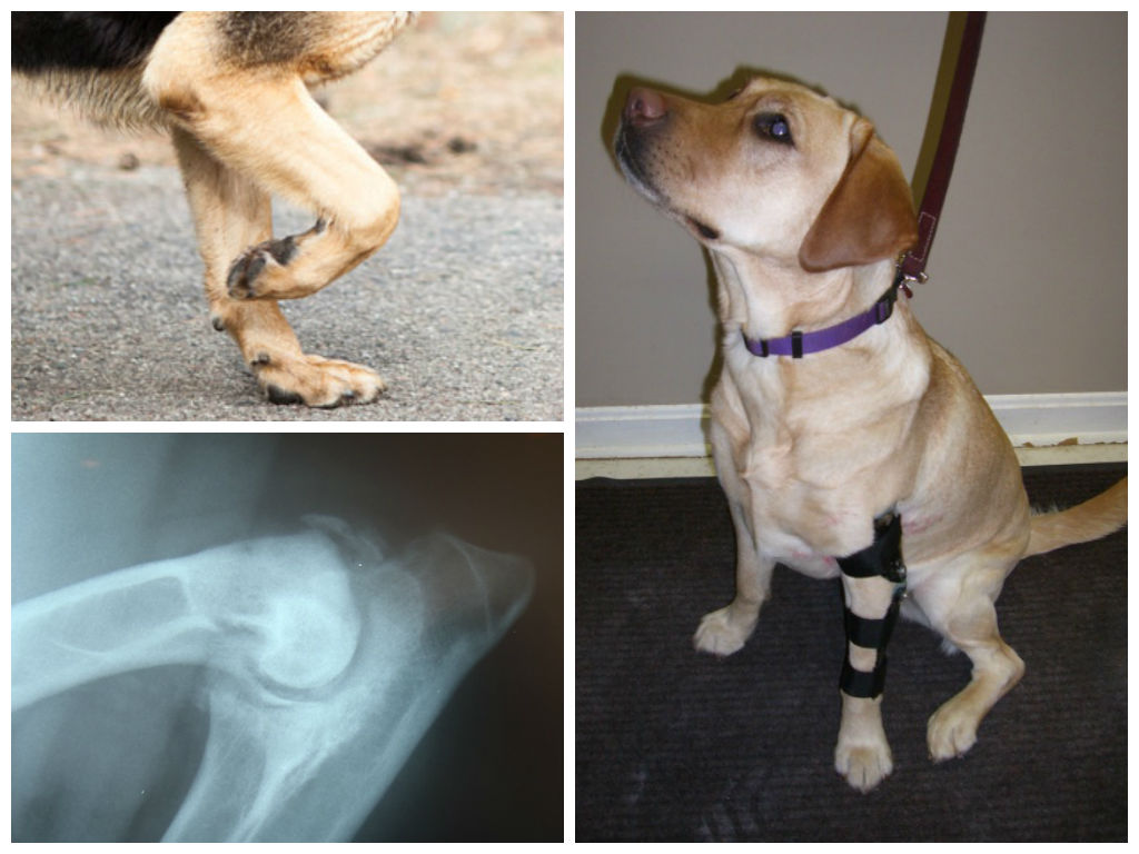 Проблемы с суставом у щенка алабая как лечить боли после замены тазобедренного сустава