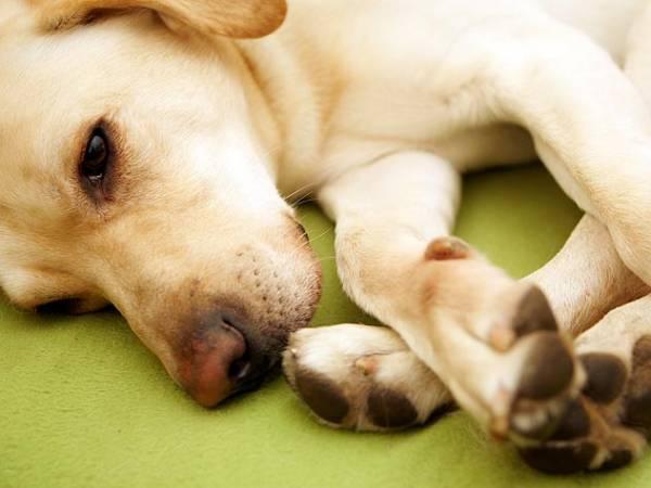 Артрит у собак симптомы и лечение (препараты)