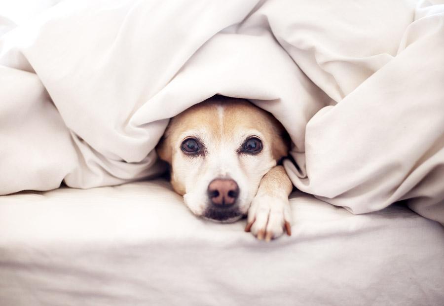 Раслаивающийся остерохондроз коленного сустава у щенка мед лечить суставы рекомендация