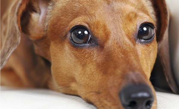 Паралич у собак: причины, лечение и профилактика, Ваши Питомцы