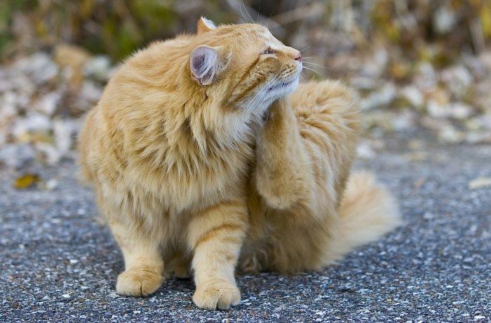 Как распознать блох у кошки