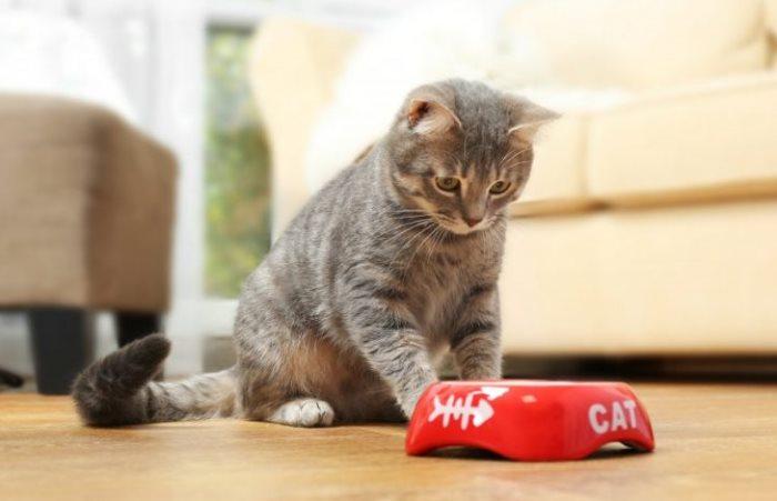 Кошка не ест после стерилизации: норма или патология, чем кормить