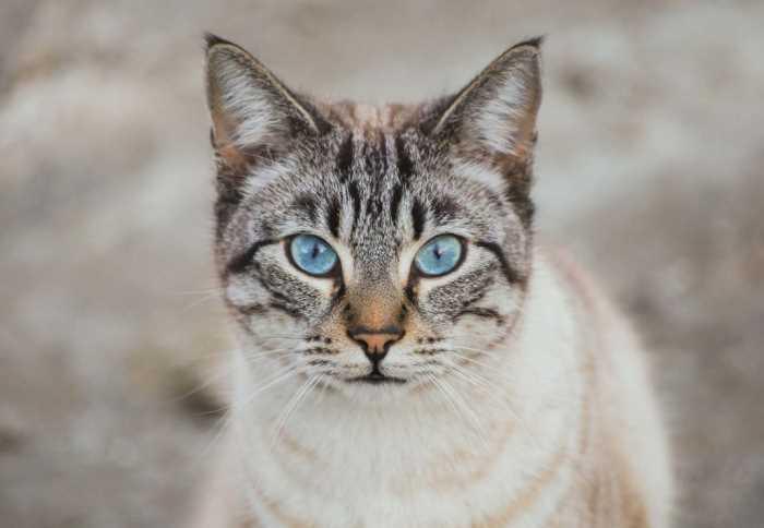 Кошка и кот после стерилизации - поведение, особенности ухода