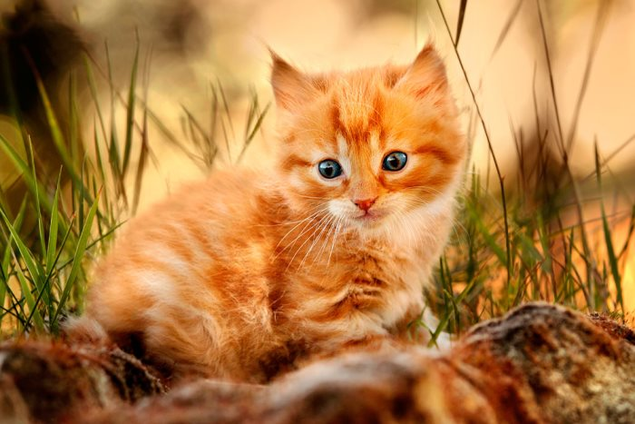 К чему снится рыжий котенок сонник