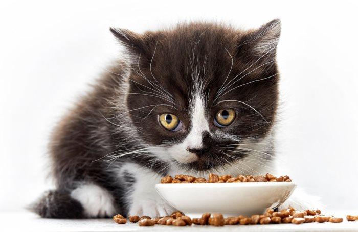 Почему котенок не ест сухой корм? Что делать, если котенок не ест сухой корм, нужно ли приучать - Автор Екатерина Данилова