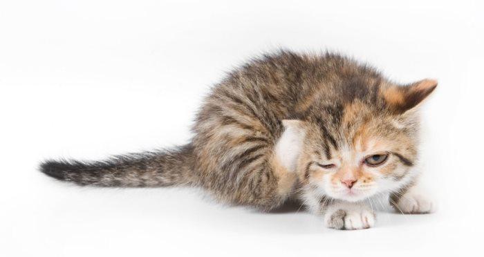 Стронгхолд противопоказания для кошек