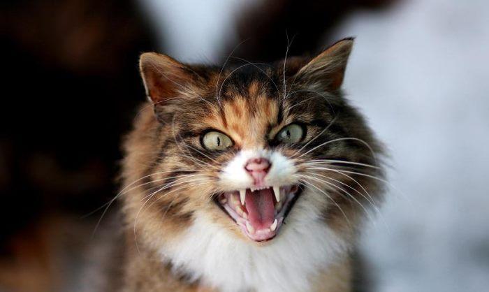 Бешенство у кошек: как определить, как проявляется, признаки заражения