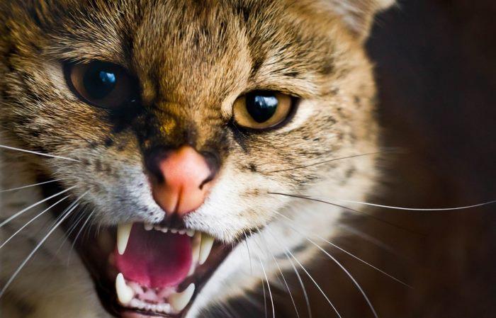 Симптомы бешенства у кошек и котят