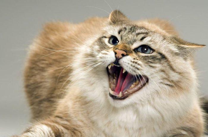 Прививка против бешенства у кошек
