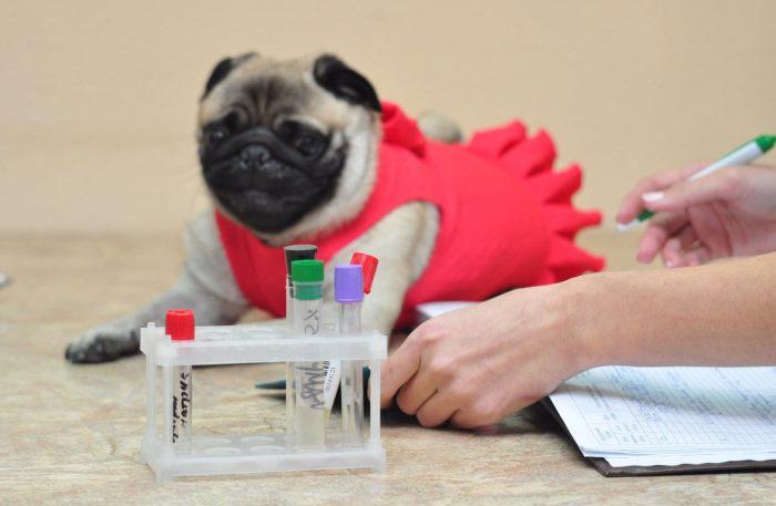 Пироплазмоз анализ крови из вены thumbnail